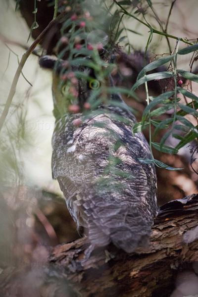 Long-eared Owl Image @ Kiwifoto.com