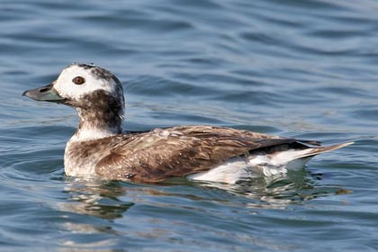 Long-tailed Duck Photo @ Kiwifoto.com