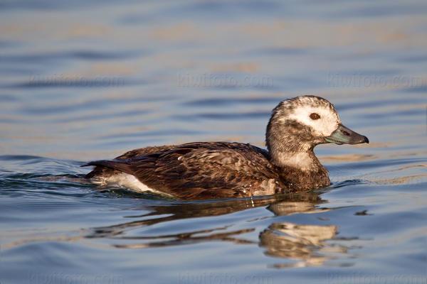 Long-tailed Duck @ Ballona Creek, CA