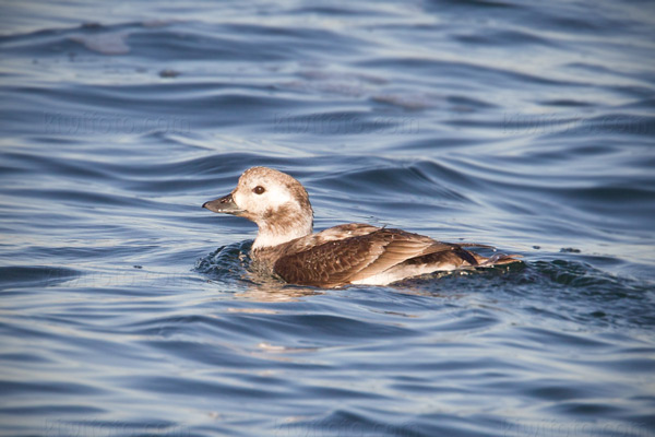 Long-tailed Duck Image @ Kiwifoto.com