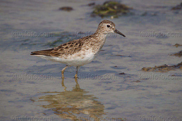 Long-toed Stint Photo @ Kiwifoto.com