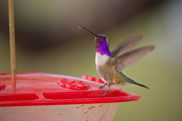 Lucifer Hummingbird Picture @ Kiwifoto.com