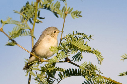 Lucy's Warbler Picture @ Kiwifoto.com