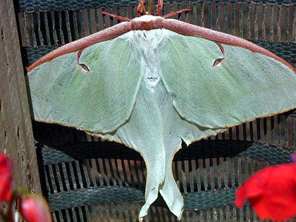 Luna Moth Photo @ Kiwifoto.com