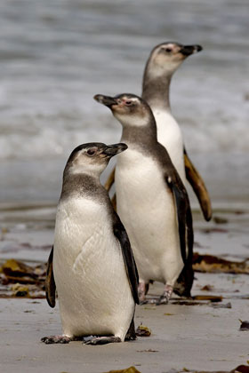 Magellanic Penguin Photo @ Kiwifoto.com