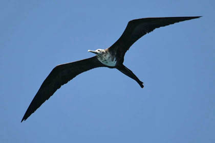 Magnificent Frigatebird Photo @ Kiwifoto.com