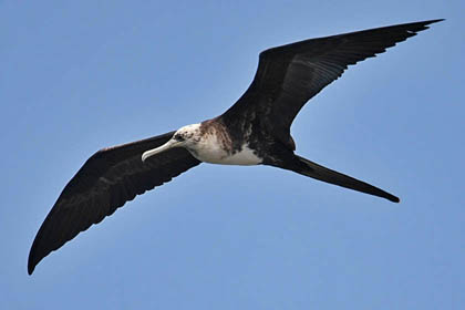 Magnificent Frigatebird Picture
