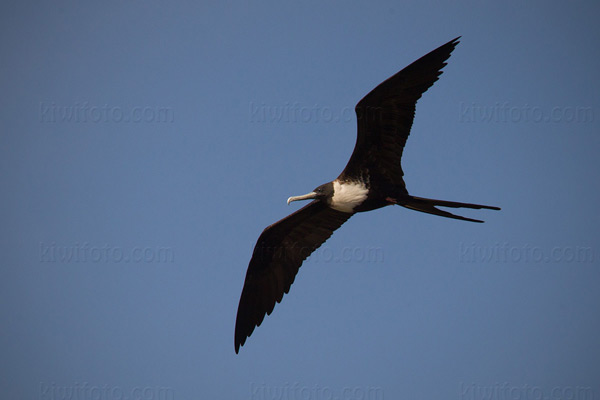 Magnificent Frigatebird Photo