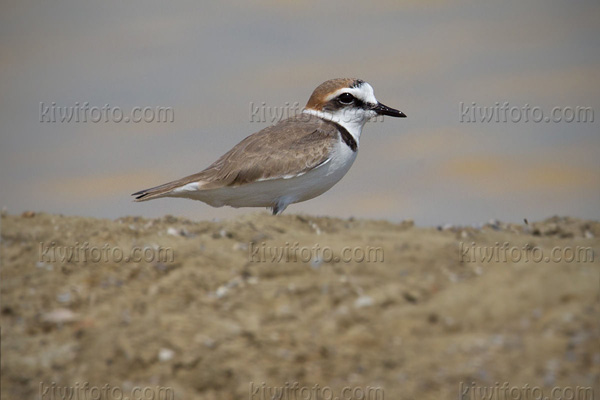Malaysian Plover Photo @ Kiwifoto.com