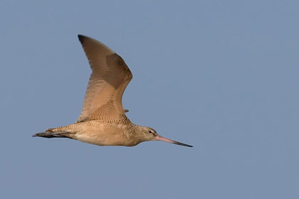 Marbled Godwit Photo @ Kiwifoto.com