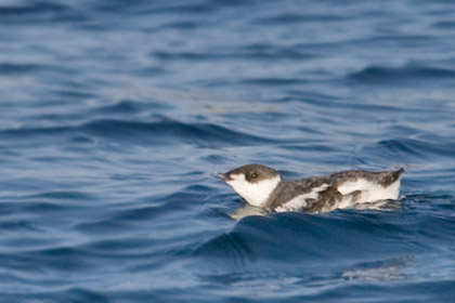 Marbled Murrelet Picture @ Kiwifoto.com