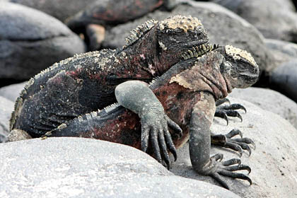 Marine Iguana Photo @ Kiwifoto.com