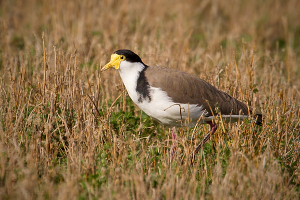 Masked Lapwing Photo @ Kiwifoto.com