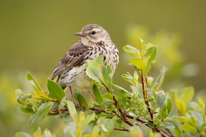 Meadow Pipit Photo @ Kiwifoto.com