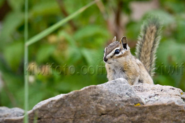 Merriam's Chipmunk Image @ Kiwifoto.com