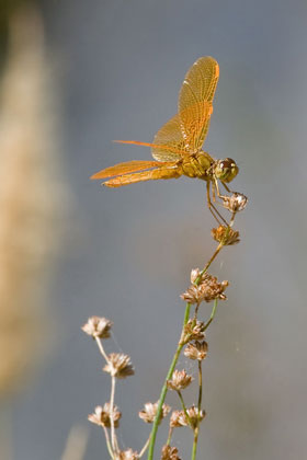 Mexican Amberwing Picture @ Kiwifoto.com