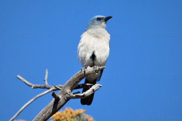 Mexican Jay Photo @ Kiwifoto.com
