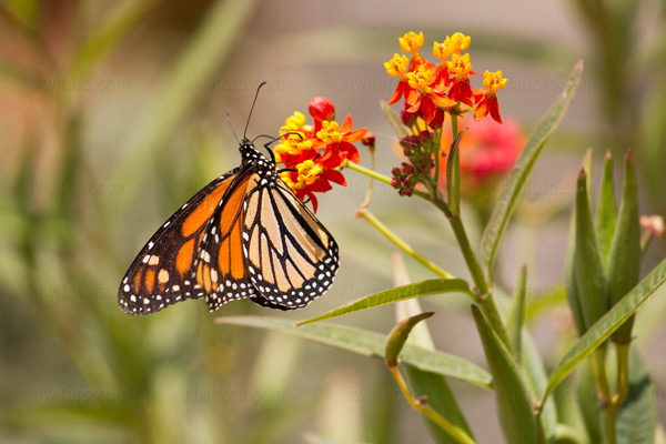 Monarch @