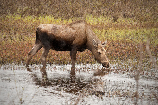 Moose Photo @ Kiwifoto.com