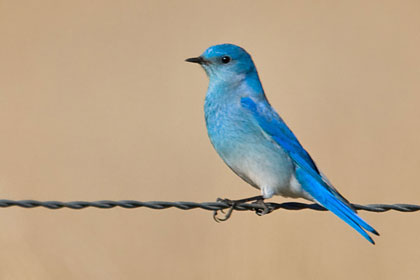 Mountain Bluebird Photo @ Kiwifoto.com