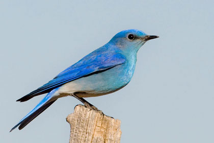 Mountain Bluebird Picture @ Kiwifoto.com