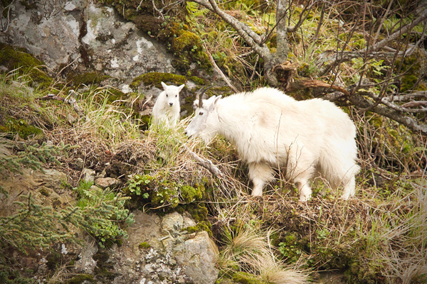 Mountain Goat Photo @ Kiwifoto.com