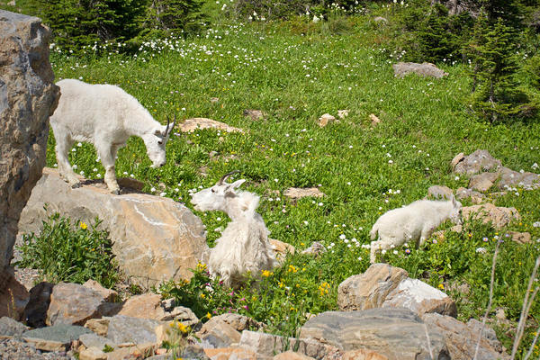 Mountain Goat Picture @ Kiwifoto.com