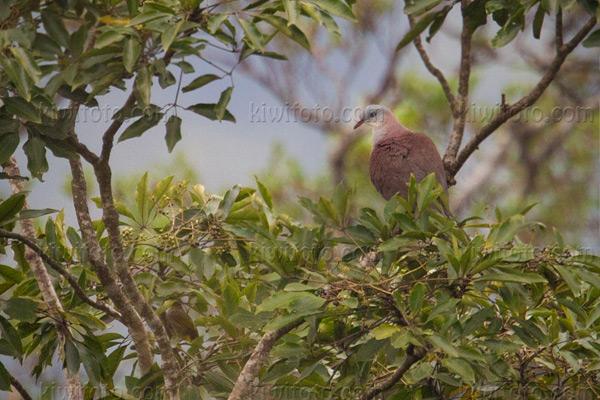 Mountain Imperial-pigeon Picture @ Kiwifoto.com