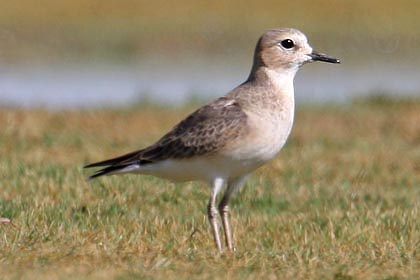 Mountain Plover Picture @ Kiwifoto.com