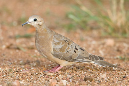 Mourning Dove Photo @ Kiwifoto.com