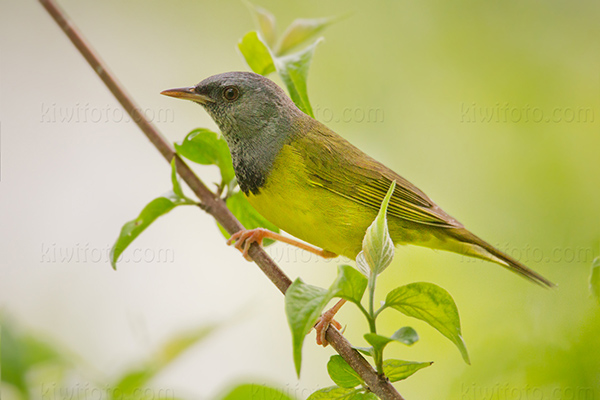 Mourning Warbler Picture @ Kiwifoto.com