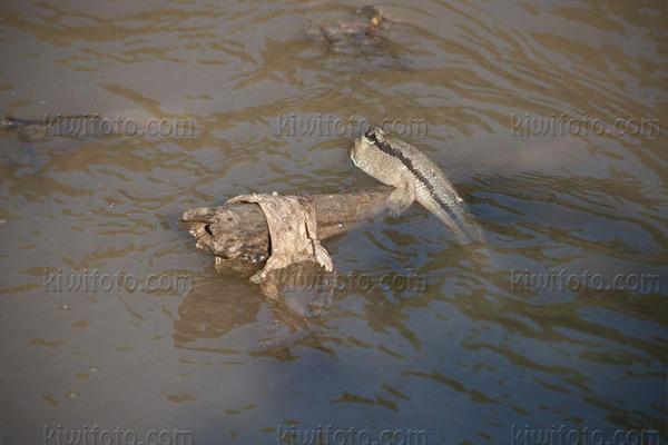 Mudskipper Photo @ Kiwifoto.com