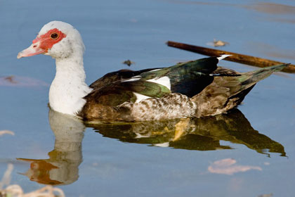 Muscovy Duck Picture @ Kiwifoto.com