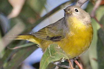Nashville Warbler Photo @ Kiwifoto.com