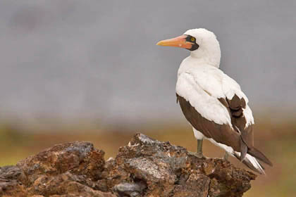 Nazca Booby Photo @ Kiwifoto.com