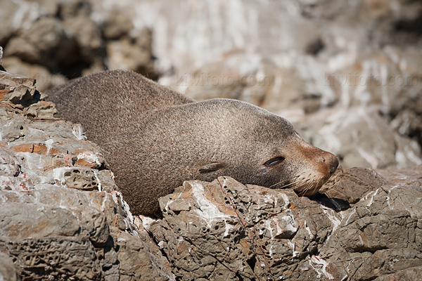 New Zealand Fur Seal Picture @ Kiwifoto.com