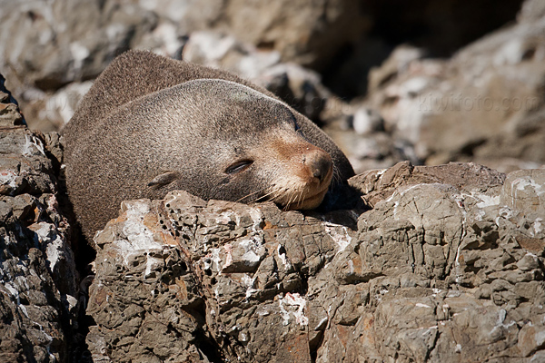 New Zealand Fur Seal Image @ Kiwifoto.com