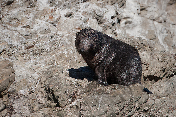 New Zealand Fur Seal Photo @ Kiwifoto.com