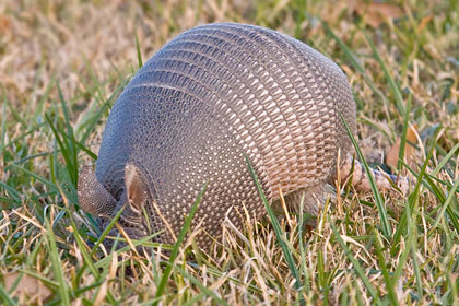 Nine-banded Armadillo Photo @ Kiwifoto.com