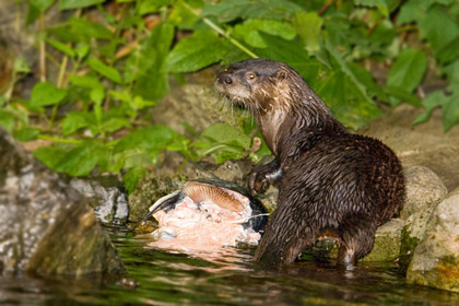 North American River Otter Photo @ Kiwifoto.com