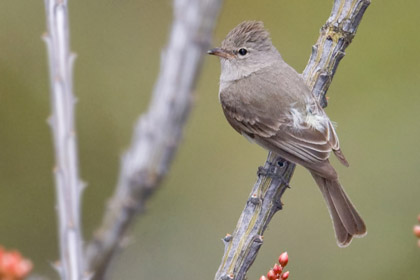Northern Beardless-Tyrannulet Image @ Kiwifoto.com