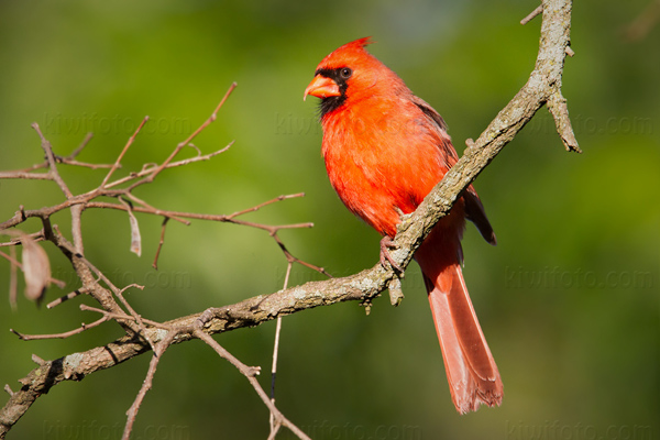 Northern Cardinal Picture @ Kiwifoto.com