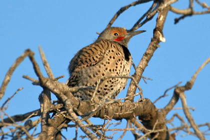 Northern Flicker (Yellow-shafted Photo)