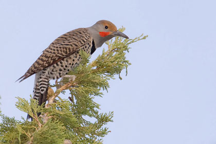 Northern Flicker Photo @ Kiwifoto.com