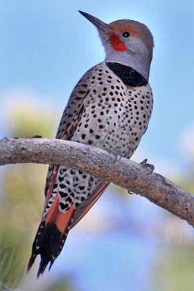 Northern Flicker (Red-shafted Photo)