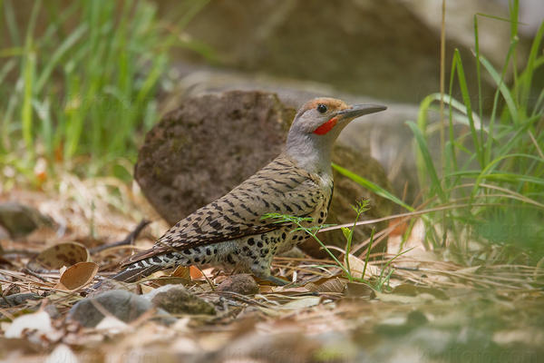 Northern Flicker @ Upper Ramsey Canyon, Huachuca Mountains, AZ