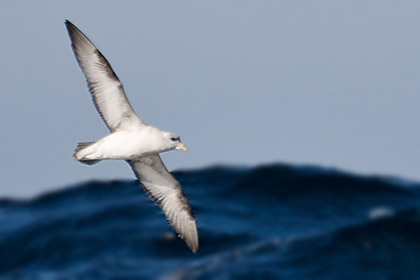 Northern Fulmar (Light Morph)