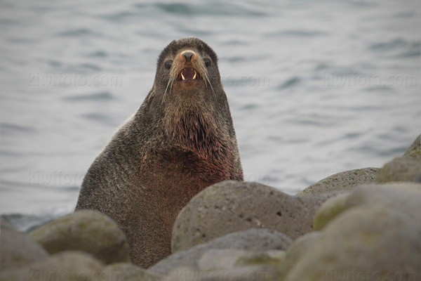 Northern Fur Seal Image @ Kiwifoto.com