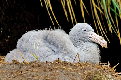 Northern Giant-petrel Picture