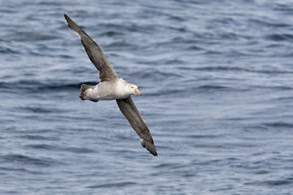 Northern Giant-petrel Photo @ Kiwifoto.com